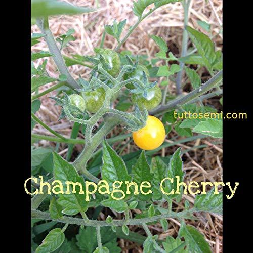 Casavidas Seeds Package: Very Rare Heritage Organic Tomato Seeds Champagne Cherry Original
