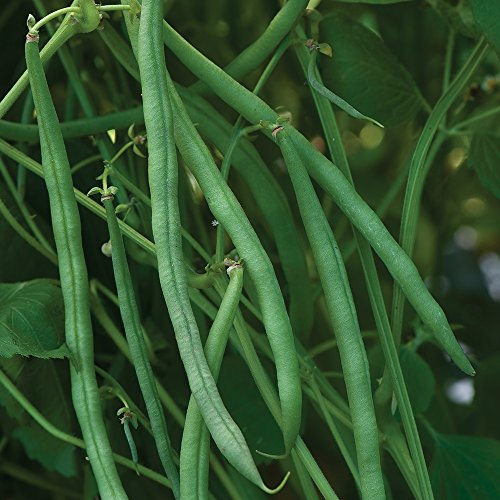 Burpee Beananza Bush Bean Seeds 2 ounces of seed (Best Bush Green Beans To Grow)
