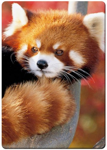 Red panda cute fridge magnet