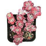 Sedum Spathulifolium Purpureum Succulents (2 inch Pot)