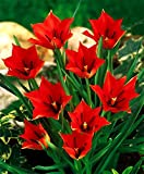 20 x Tulipa linifolia bulbs (Flax-leaved Tulip)
