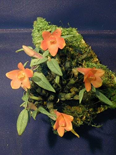 - Dendrobium cuthbertsonii - Orchid Plant - Miniature - Indigenous to New Guinea