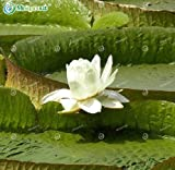 New Hydroponic Flowers Small Victoria amazonica 5+Seeds