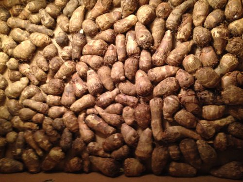 Elephant Ear Bulbs, total of 25 bulbs, Yellow House Seed Co. by Unknown (Image #1)