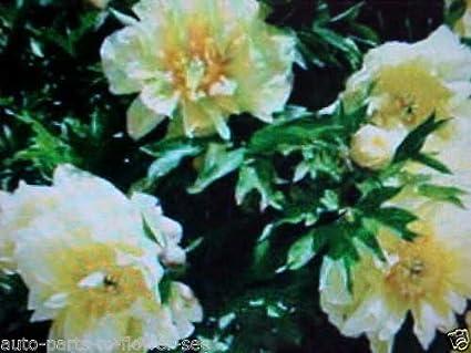 Amazon large color yellow sunshine tree peony flower seeds large color quotyellow sunshinequot tree peony flower seeds usa mightylinksfo