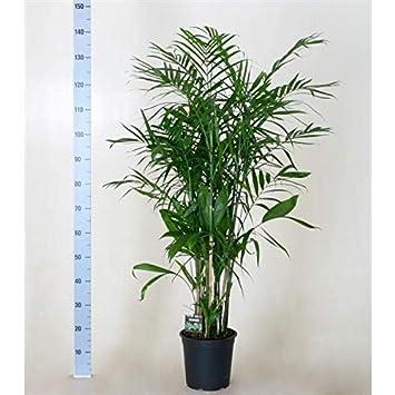 Chamaedorea Seifrizii 150 160 Cm Bambuspalme Zimmerpflanze Amazon