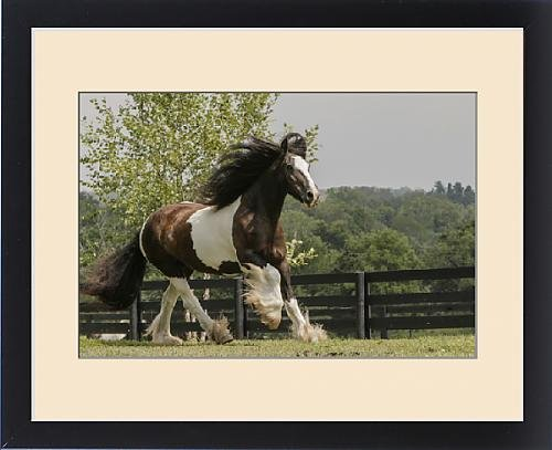 Framed Print of Gypsy Vanner Horse running, Crestwood, KY by Fine Art Storehouse