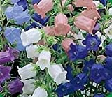 50+ Campanula Canterbury Single Bells Mix Flower Seeds / Perennial