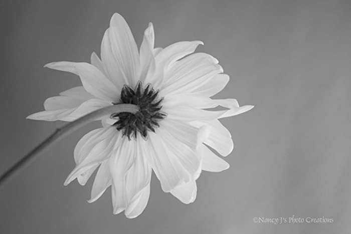 Daisy fine art still life floral photography black white unframed print minimalist home or office