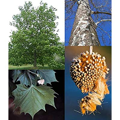 Fresh Cheap Trees Seeds American Sycamore Get 200 Seeds Easy Grow #FAY01YN : Garden & Outdoor
