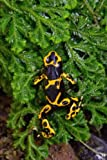 Dart Frog (Dendrobates Tinctorius) Journal: 150 page lined notebook/diary