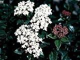 Viburnum Tinus 'Spring Bouquet' Starter Plant
