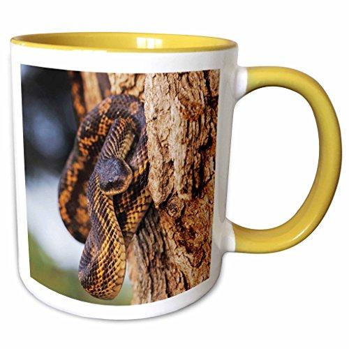 Texas Rat Snake (3dRose Danita Delimont - Snakes - Texas Rat Snake, Lake Corpus Christi, Texas - NA02 RNU0809 - Rolf Nussbaumer - 11oz Two-Tone Yellow Mug (mug_84627_8))