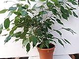 """Cheap Jmbamboo- 6"""" pot Weeping Fig Tree – Ficus Benjamina – Easy to Grow"""