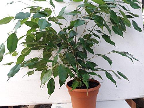 Live Indoor Trees tall: Amazon.com