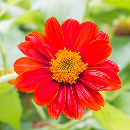 - Outsidepride Red Mexican Sunflower Flower Seed - 1000 Seeds