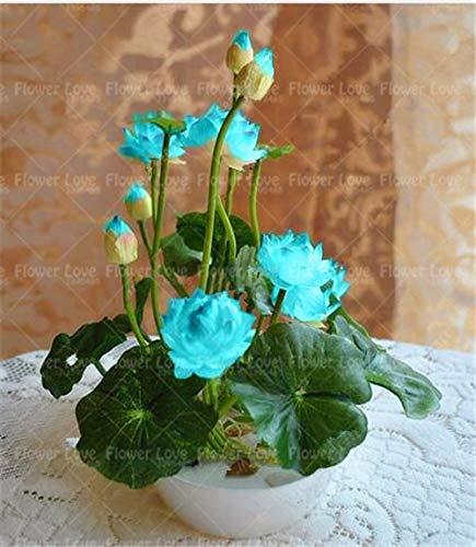 Pasonaseeds - Bonsai - Bonsai Flower Lotus Flower for Summer 100% Real Bowl Lotus Planting pots Bonsai Water Lily Garden Plants Easy to Grow 5pcs/Bag ()