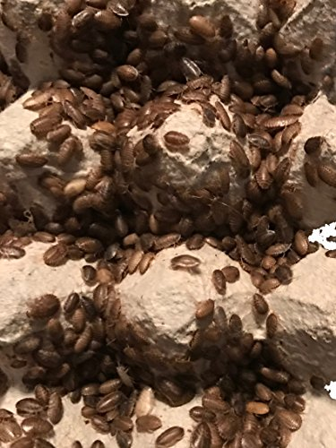 dubia-roaches-100-small