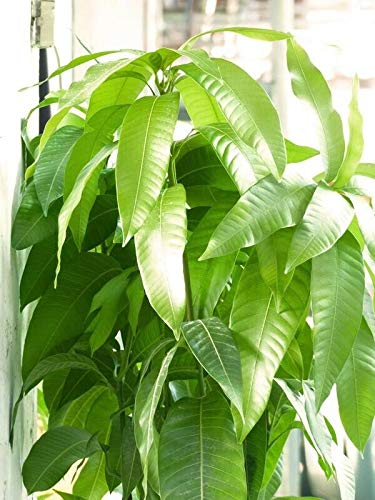 Mango Tree Live Plant -8 Inch to 1.5 Feet Tall - 3 Years Old