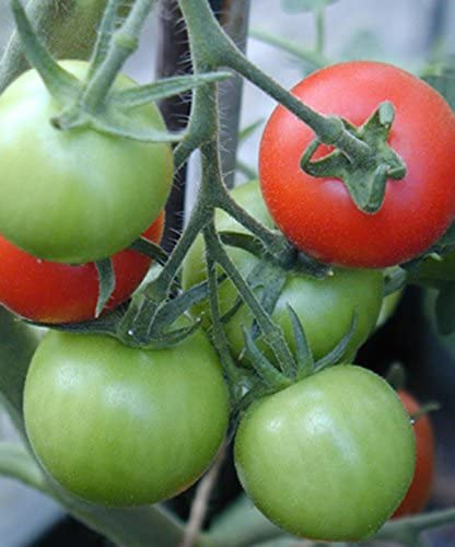 Grow Your Own Now! 6 x Plant Plugs Cherry Tomato Sweet and Neat