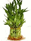 "9GreenBox - 3 Tier 4"" 6"" 8"" Top Quality Lucky Bamboo For Feng Shui (Total About 38 Stalks)"