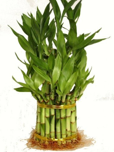 9GreenBox - 3 Tier 4'' 6'' 8'' Top Quality Lucky Bamboo For Feng Shui (Total About 38 Stalks)