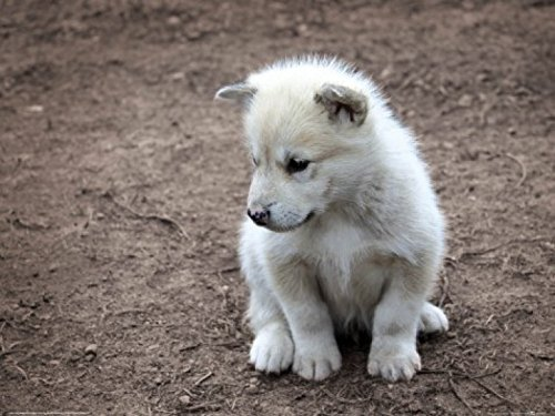 Posters: Dogs Poster Art Print - Cute Little Greenland Puppy Dog
