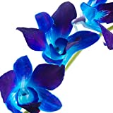 Dendrobium Orchids Blue in Bulk