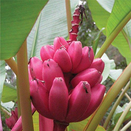 Pack Bonsai di Albero da Frutto in Vaso da Giardino con Semi di Banana Rossa DaDago 40Pcs