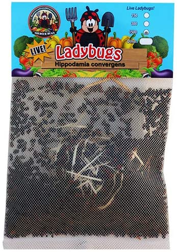 1500 Live Ladybugs - Good Bugs - Ladybugs - Guaranteed Live Delivery! 51Fyrf2BC42L