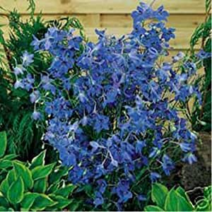 Delphinium / Larkspur - Butterfly Blue- 50 Seeds - 50 % off sale