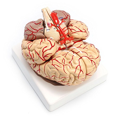 SODIAL 1: 1 Life Size Human Anatomical Brain Pro Dissection Medical Organ Teaching Model