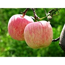Fuji Apple Seeds 20 Open Pollinated Seeds Heavy Fruit Producing Fast Growing