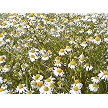28 annual production chamomile tea chamomile tea pesticide-free without fertilizer domestic 20g