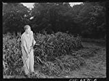 1942 Photo Washington, D.C. Vice President Henry A. Wallace in his victory garden Location: Washington D.C.