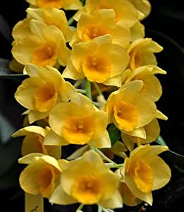 Exotic Plants Dendrobium griffithianum - orchids - 100 seeds