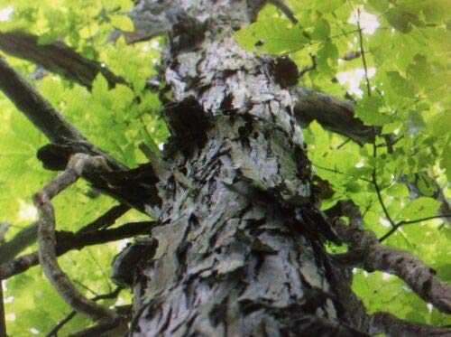 8 Fresh Cut Shagbark Hickory Tree Cuttings Live Plant