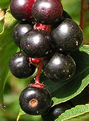 Saavyseeds Black Tartarian Cherry Seeds - 20 Count ()