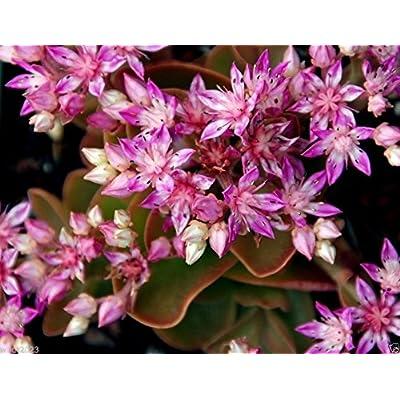 200 SEDUM obtusifolium var. listoniae, Perennial Flowers/Rock Garden Stonecrop : Garden & Outdoor