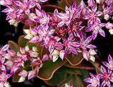 200 SEDUM obtusifolium var. listoniae,Perennial Flowers / Rock Garden Stonecrop