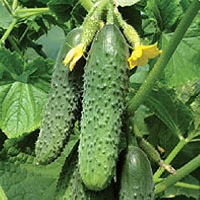Seeds Cucumber Kurazh F1 - Courage Self Pollinating Hybrid Variety NON-GMO