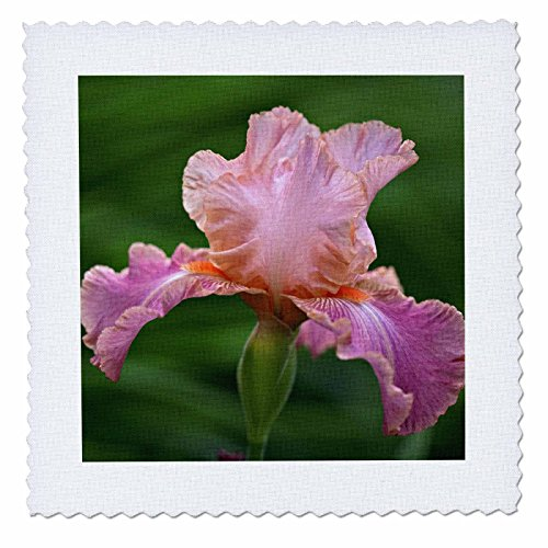 3dRose qs_83273_1 Hybrid Bearded Iris Flower, Louisville, Kentucky NA01 AJE0110 Adam Jones Quilt Square, 10 by 10-Inch