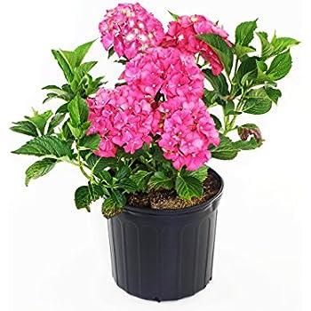 Amazon hydrangea mac glowing embers bigleaf hydrangea glowing embers bigleaf hydrangea shrub deep pink flowers mightylinksfo