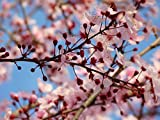 Home Comforts Peel-n-Stick Poster of Bloom Bloom Pink Tree Almond Blossom Blossom Poster 24x16 Adhesive Sticker Poster Print