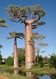 Tropica - baobab del Madagascar (Adansonia grandidieri) - 4 semi