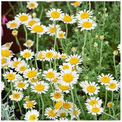 Chamomile Seeds for Planting : Garden & Outdoor