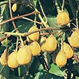 KIWI FRUIT / ACTINIDIA CHINENSIS 10 seeds