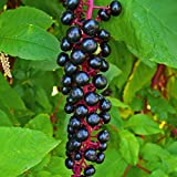 Pokeberry Seeds (Phytolacca americana) 100+ Organic Heirloom Seeds in FROZEN SEED CAPSULES for the Gardener & Rare Seeds Collector - Plant Seeds Now or Save Seeds for Years
