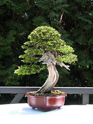 Yew Bonsai (New English Yew , Taxus baccata , 10+ Tree Seeds ( Evergreen , Topiary , Bonsai ))