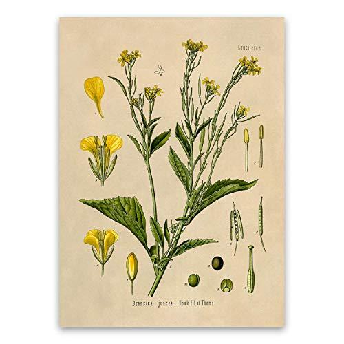 Mustard Seed Flower Print, Brassica Juncea, Botanical Illustration - Mustard Pot Old